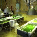 درآمد یک ۱/۵ میلیونی پرورش جلبک با سرمایه ۱۰ میلیونی