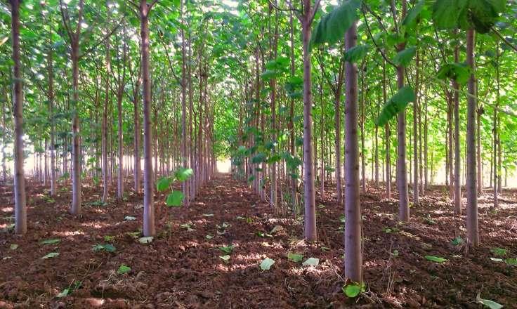 کشت درخت پالونیا