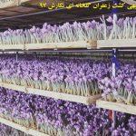 کسب درامد میلیونی از کشت زعفران در فضای کوچک  گلخانه