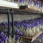 کارگاه آموزش کشت زعفران گلخانه ای