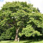 تولید چوب با درخت پالونیا، درآمد ۱۰۰ میلیونی با سرمایه ۲۳ میلیونی